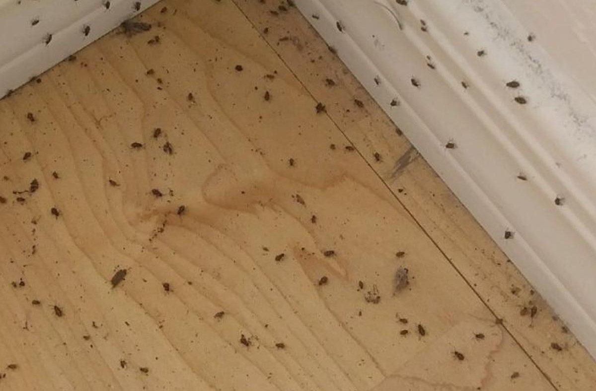 Get Rid of Powderpost Beetles on Hardwood Floors Now